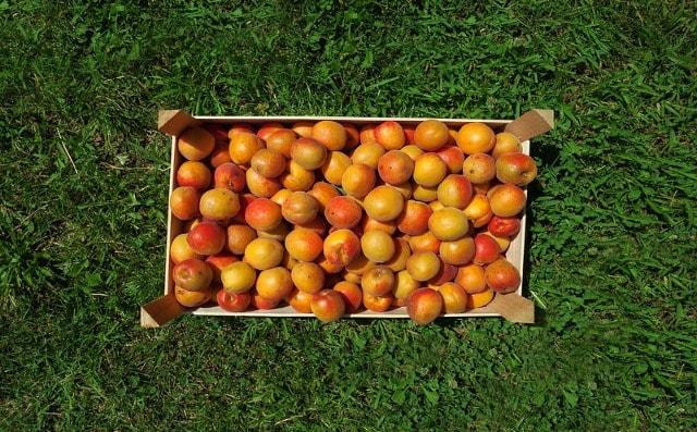 Jak poznáte nejlepší meruňky?